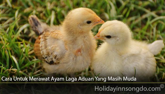 Cara Untuk Merawat Ayam Laga Aduan Yang Masih Muda