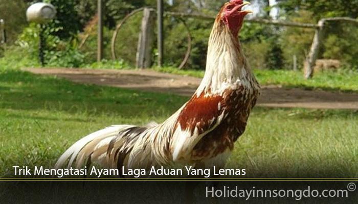 Trik Mengatasi Ayam Laga Aduan Yang Lemas